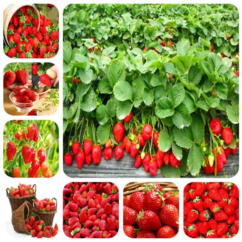 Best seller! 200 strawberry bonsai red healthy strawberry plants and non-GMO strawberry family orchard planting free shipping