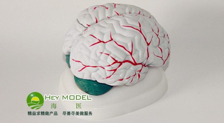 Vascularity brain anatomical model neurology brain model brain cerebral artery