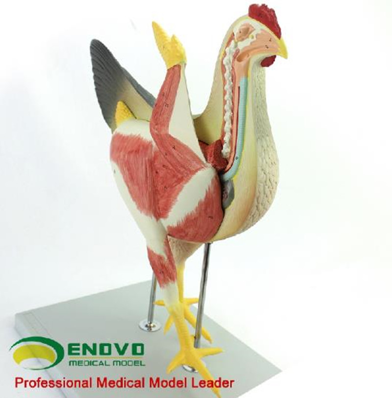 Chicken poultry anatomy model organs heart wing muscle veterinary ...