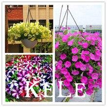 Балкон, hwojz петуния, разновидность, семена-черный харди, редкая цветок, петуния двор бархат