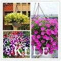 100 semillas de la petunia-Terciopelo Negro Petunia, variedad rara, hardy, duración balcón, patio flor, #4 HWOJZ