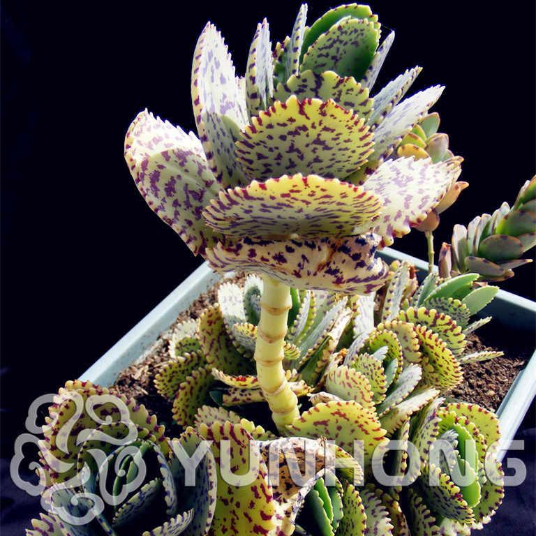 Semillas De Flores 100 Edo สีม่วง bonsai Kalanchoe marmorata Succulents ดิบหินแคคตัสพืช Tetragonia ดอกไม้กระถาง