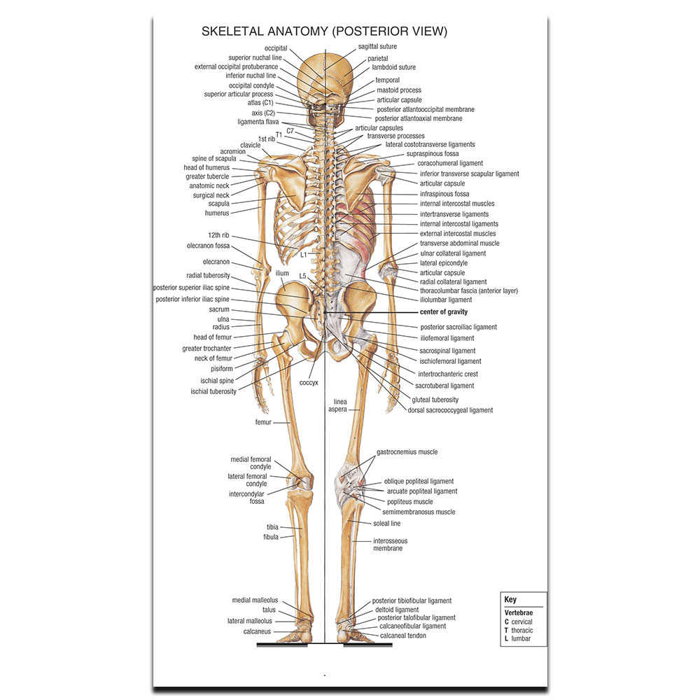 Detail Feedback Questions About Skeletal System Poster Science And