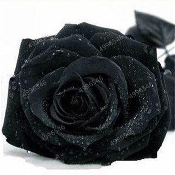 500-pcs-rose-flower-petunia-Cockscomb-Hibiscus-flower-rosas-bonsai-for-home-garden-Eustoma-flower-Natural.jpg_640x640 (1)