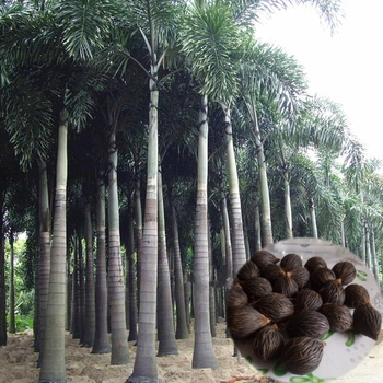 3PCS 100% Fresh Real Foxtail palm Semillas – Wodyetia bifurcata – Bonsai Courtyard Garden Plant Tree Semillas sementes