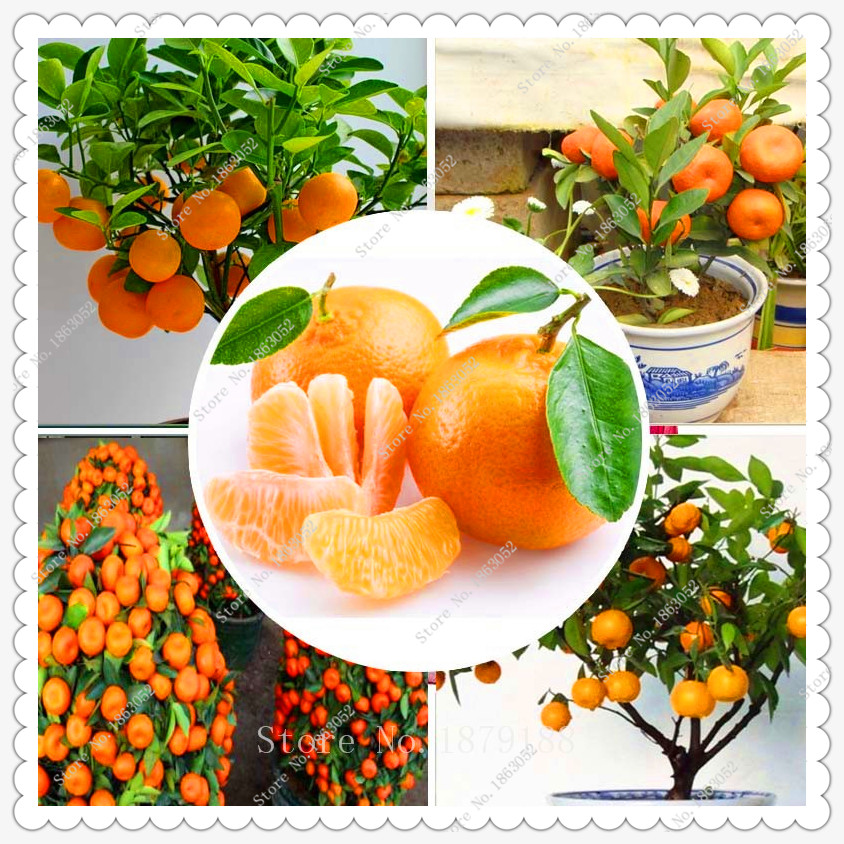 20pcs/bag Fruit seeds potted Orange Tree Seeds Dwarf Washington Navel Grow,bonsai plant home garden