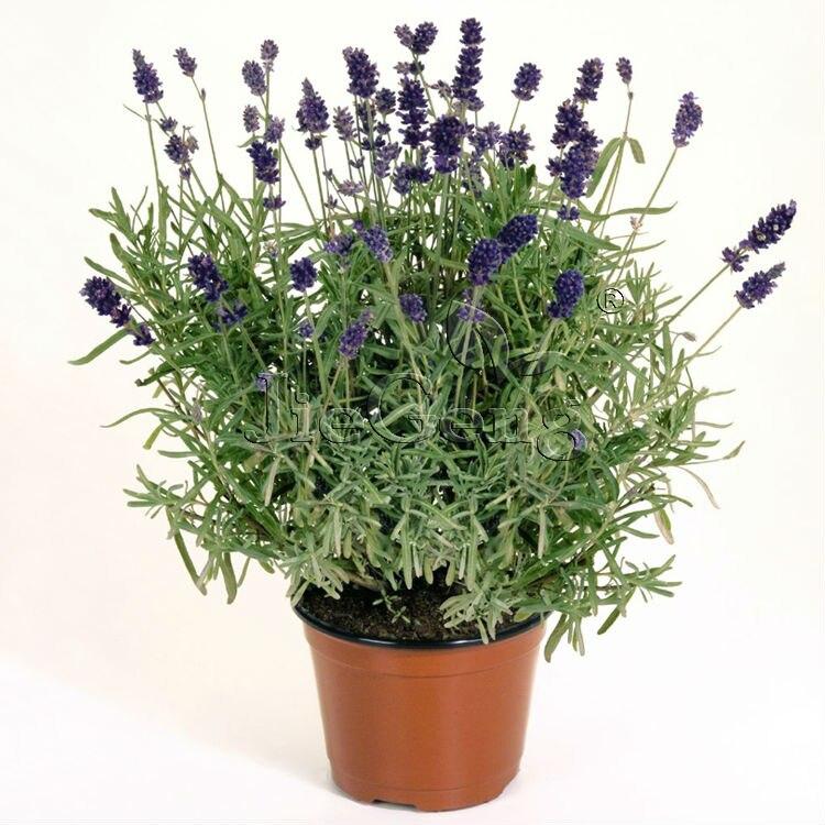 Online Get Cheap English Garden Flowers Aliexpresscom Alibaba