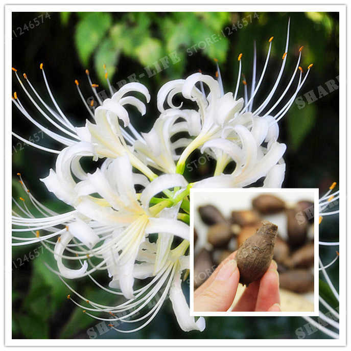 Rare White Lycoris Radiata Bulbs Bonsai Potted Plants Planting Seasons Indoor Bonsai Plant For Home Garden-2 Bulbs