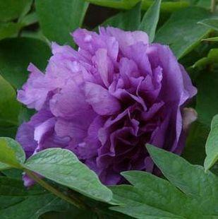 Exterior De Plantas Raras Purpura Grande De Semillas De Flores En - Nombres-de-plantas-de-exterior