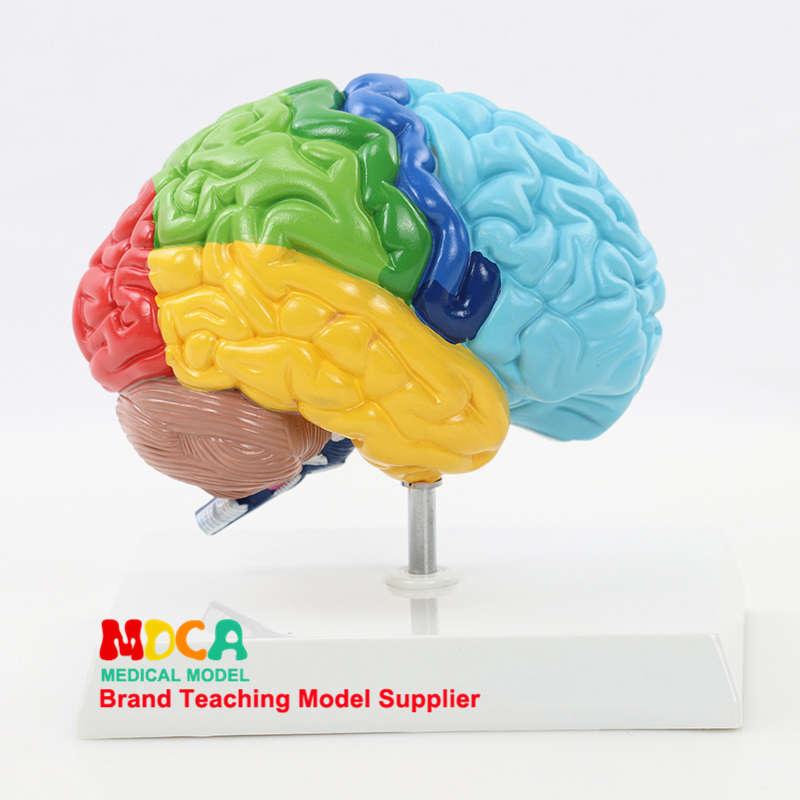 Human 1:1 Right Hemisphere Functional Area Anatomy Human Brain Model Medicine Teaching MDN006