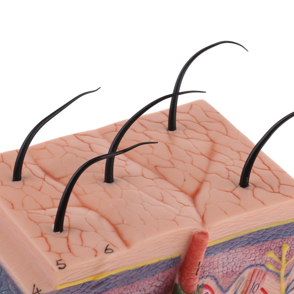 PVC 1/50 scale 3D Human Anatomical Skin Model Anatomy Biology Medical Teaching Aids Study Education School Lab Supplies