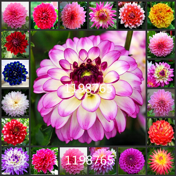 100/bag dahlia,dahlia flower Mixed Colors Dahlias Seeds For DIY Home Garden free shipping