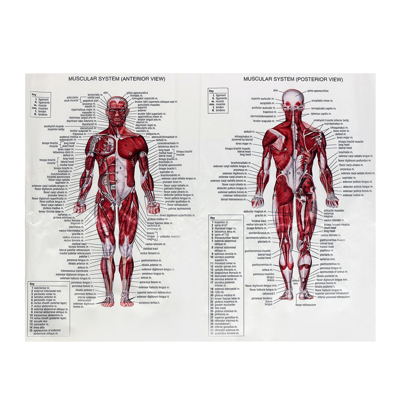 Hot Sale Muscle System Posters Silk Cloth Picture Human Body ...
