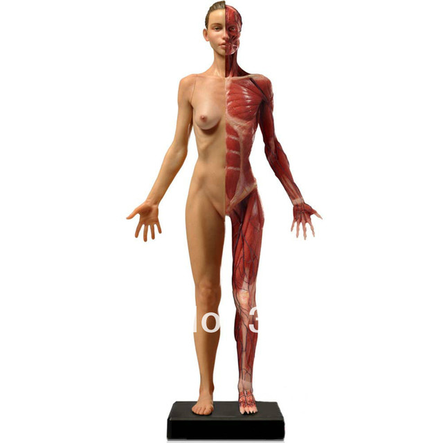 60cm Anatomy Muscle Model For Femalemedical Modelteaching Aids