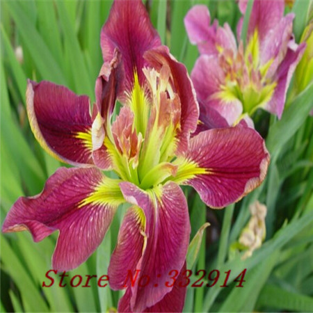 Free shipping 100 white iris seeds beautiful perennial cut for Low maintenance potted plants