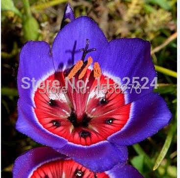 Бесплатная доставка 100 шт. розы триколор спараксис semillas цветочных растений semillas sementes