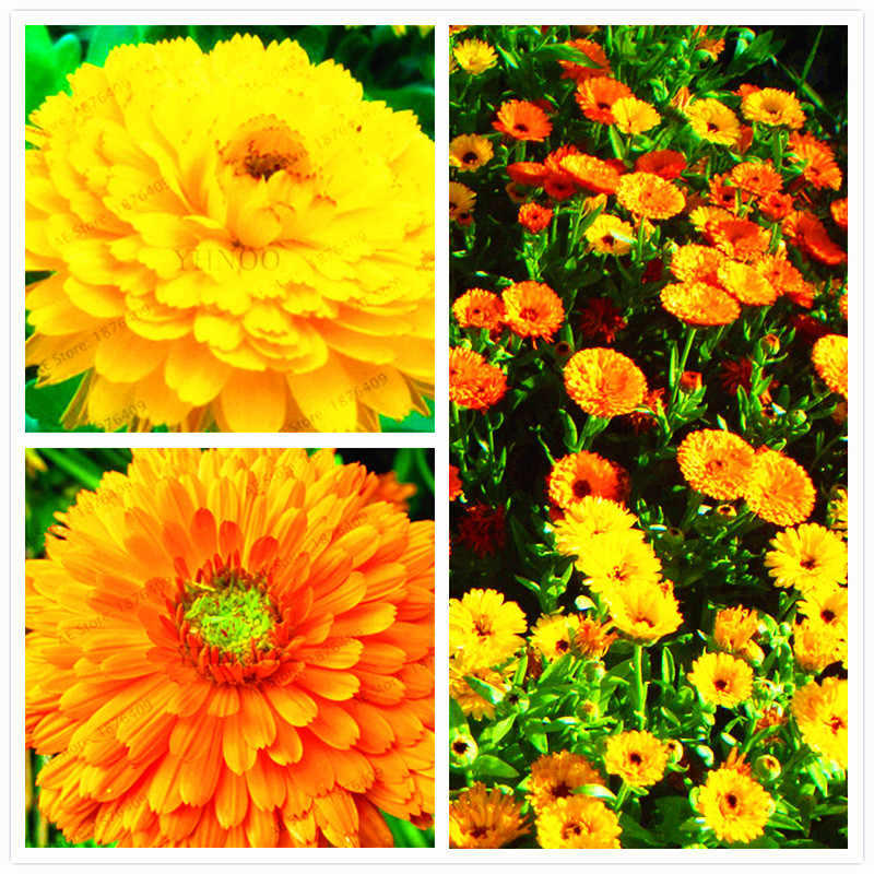 100PCS/Pack Rare Calendula officinalis flower Plantas,Yellow Marigold Flower potted , bonsai plants for home garden and balcony