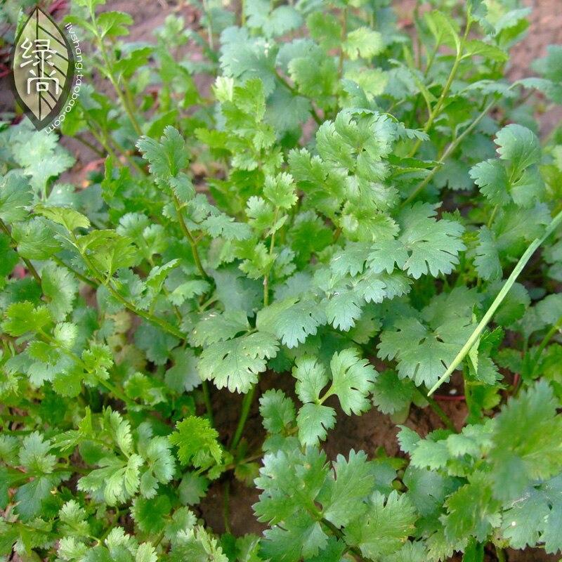 Лист кориандр посев четыре сезона двор овощи, выращиваемые в горшках на балконе бонсай 50 шт.