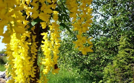 Yellow wisteria flower seeds 40pcs of yellow chinese wisteria seeds yellow wisteria flower seeds 40pcs of yellow chinese wisteria seeds hot sale purplevine creepers for home mightylinksfo Choice Image
