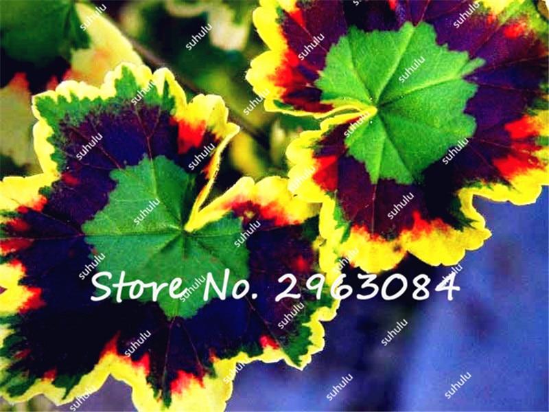 100 Pcs Rare Geranium Seeds, Variegated Geranium Potted Winter Garden Flower,Bonsai  Potted Flower Plant In Bonsai From Home U0026 Garden On Aliexpress.com ...