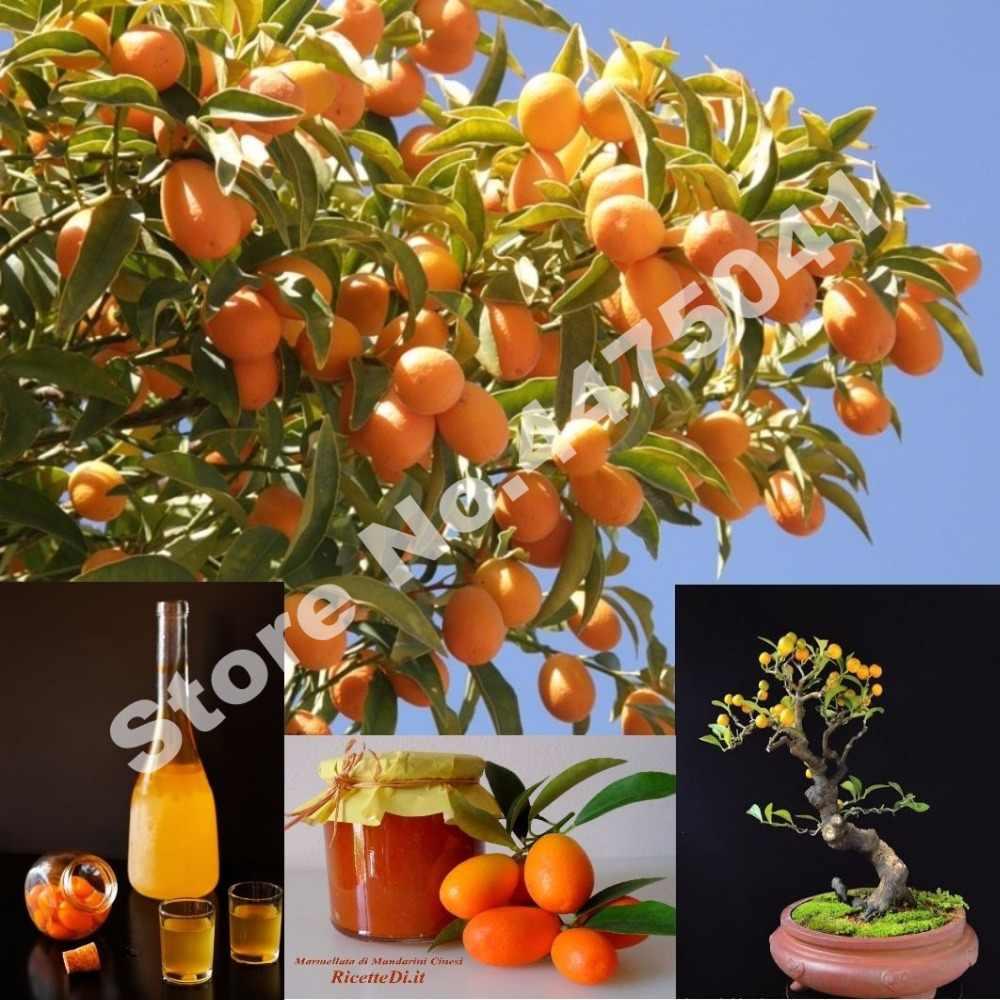 Hot Sale 30 Buah Kumquat Bonsai Orange Balkon Teras Pot Banyak Pohon Buah Lezat Juicy Orange Tanaman untuk Rumah dan taman Penanaman