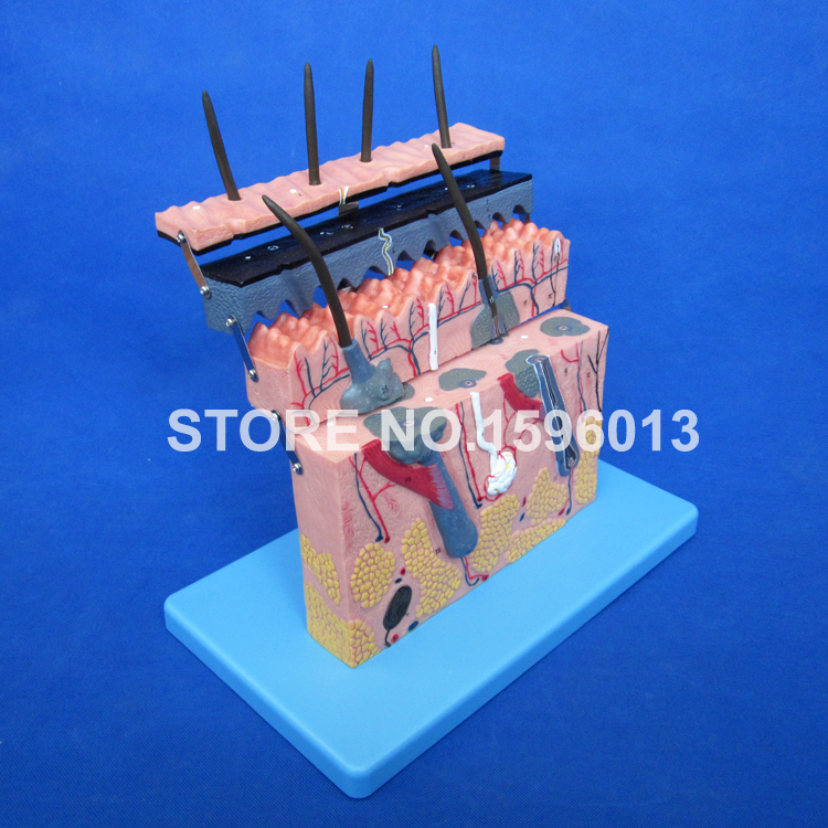 Human Skin Section model,Human Skin Anatomical Model,Skin Layers Plane Model skin block model 26 points displayed human skin anatomical model skin model