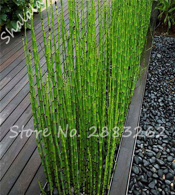 indoors bonsai fresh moso bamboo seeds moso bambu tree seeds 60pcs diy home garden pots planters. Black Bedroom Furniture Sets. Home Design Ideas