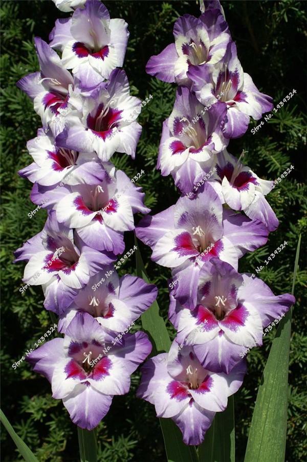 Gladiolus 'Vista'