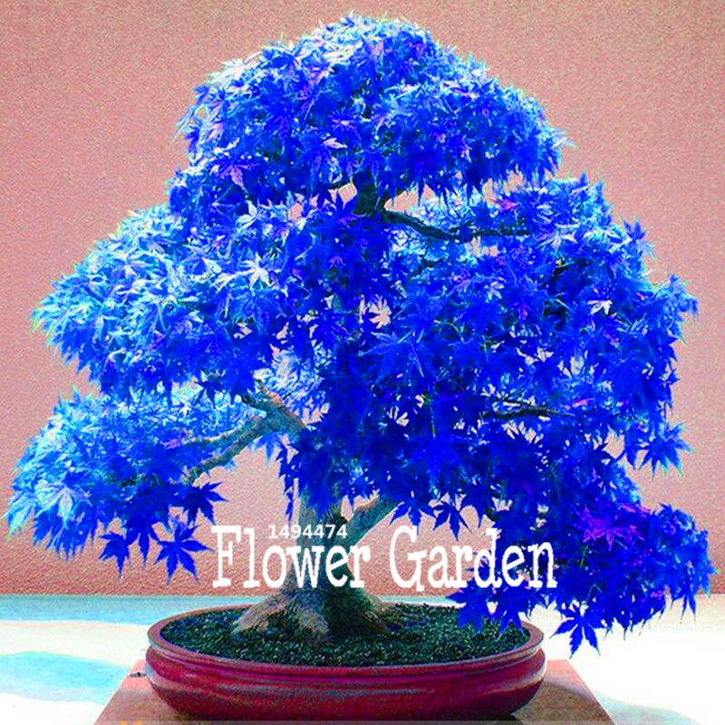 Big Promotion! 20 Pieces/Bag Real Japanese Ghost Blue Maple Seeds Rare Balcony Bonsai Tree plants for home garden