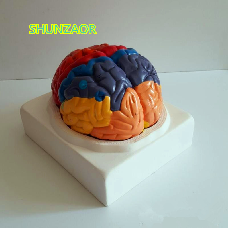 210mm*180mm*180mm PVC Brain model, brain function area model, human brain anatomical modefor medical school learning children s pupils writing desk chair set wooden home desks and chairs