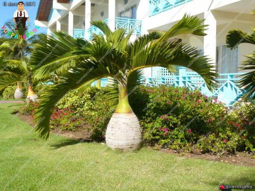 50pcs Bamboo Palm plants Exotic Lady Palm Indoor Plants Rhapis Excelsa DIY Home Garden Tree plants Air Purification Bonsai plant