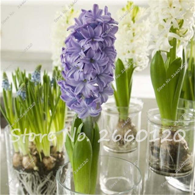 100 Pcs Bag Eceng Gondok Tanaman Bonsai Taman Bunga Tidak Eceng Gondok Bulb Holland Hidroponik Bunga Tanaman Luar Mudah Tumbuh