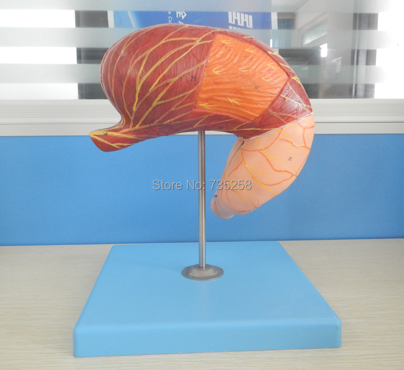 Stomach Model,Gastric Anatomy Model,ISO Certification Stomach Anatomical Model gastric anatomy model bix a1045 g149