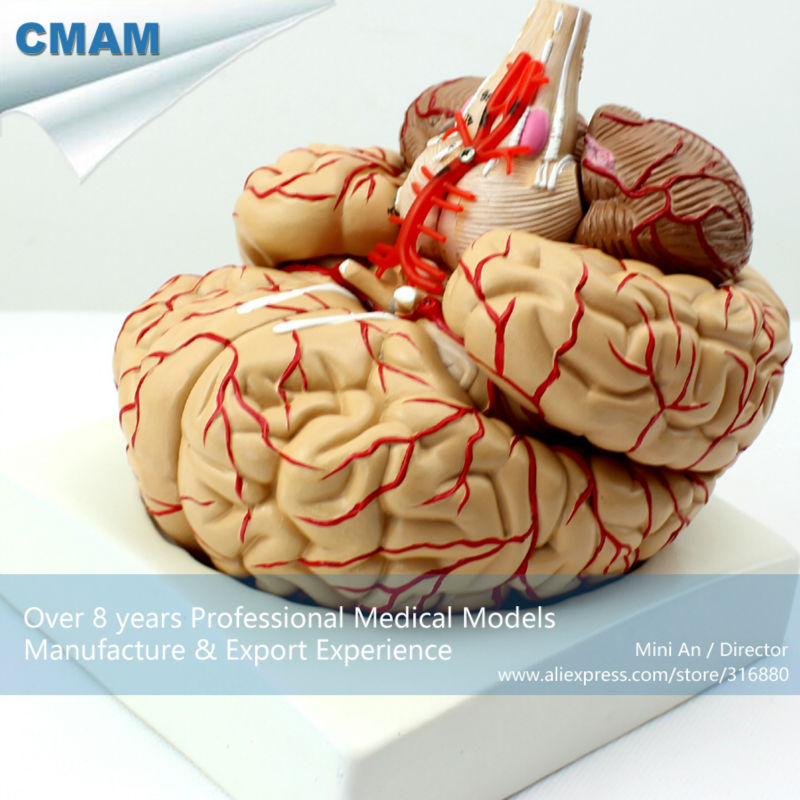 12404 CMAM-BRAIN07 Life Size Human Brain with Arteries - 9 Parts, Anatomy Models > Brain Models 12479 cmam heart03 full life size human adult heart anatomy model 2 parts anatomy models heart models