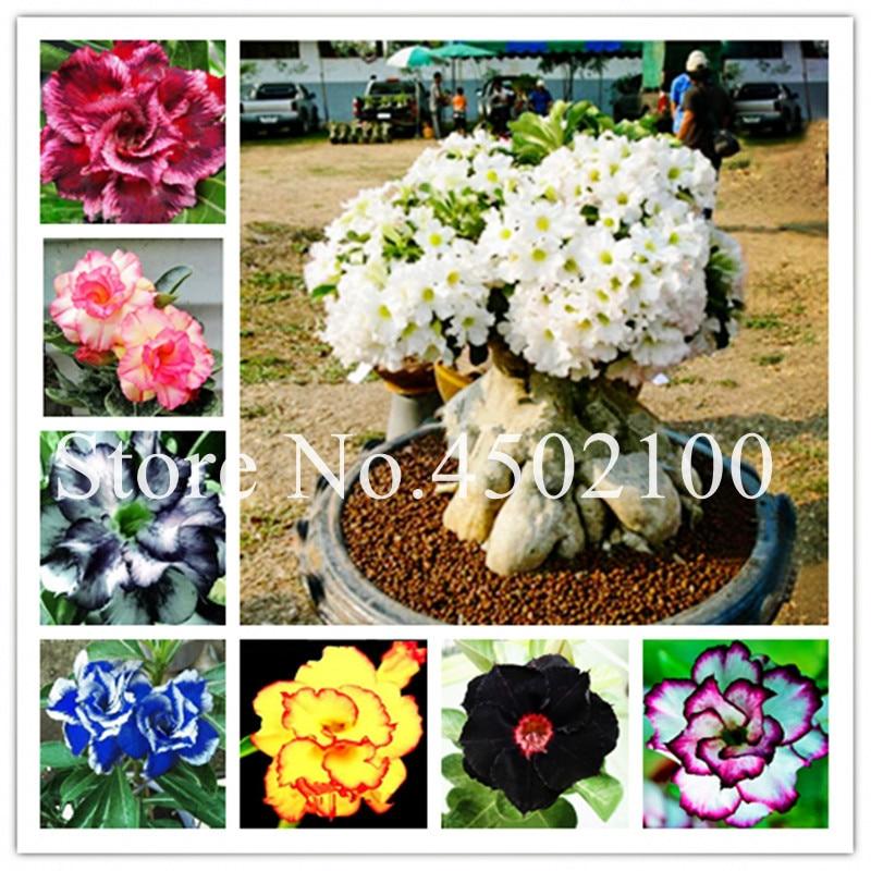 2 предмета Радуга Desert Роза бонсай, декоративные Drawf адениум тучный растений балкон Бонсай Комнатные цветы для дома сад 100% True