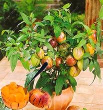 100 pcs/bag mini sweet melon, bonsai melon seeds organic seeds vegetable and fruit, delicious food plant pot for home garden