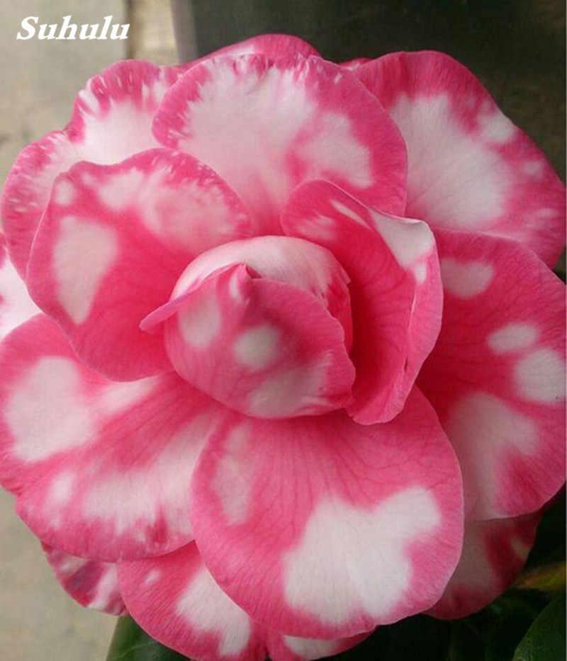 2 pcs البسيطة بونساي وردة الصحراء Planta غريبة العدينة Obesum النبات زهرة داخلي النباتات تنقية الهواء المنزل حديقة بوعاء زهرة