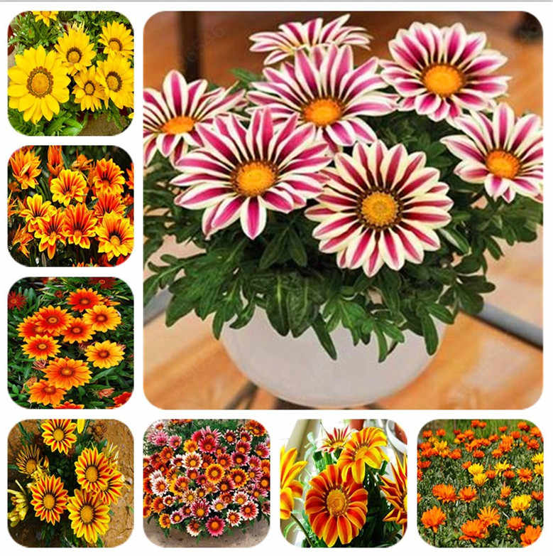 100 Pcs/Bag Mixed Color Gazania Rigens Flores Bonsai, Indoor Flower Plant For Home & Garden, plant For Indoor Outdoor Plant