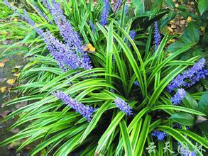 1 кг 10:1 Ophiopogon japonicus экстракт ophiopogon экстракт корня Radix Ophiopogonis extract