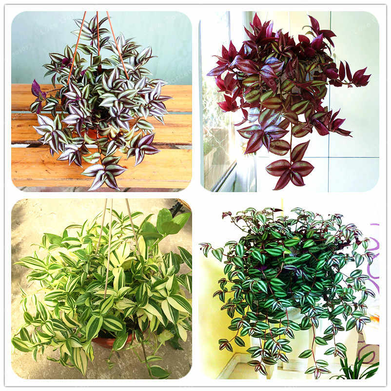 100 Pcs Zebrina pendula Schnizl plant Garden Perennial  Plants Rare Beautiful Grass Bonsai For Home Flower Pot Planters