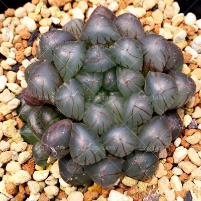 Rare Crystal Succulent Seeds (1000 Pieces)
