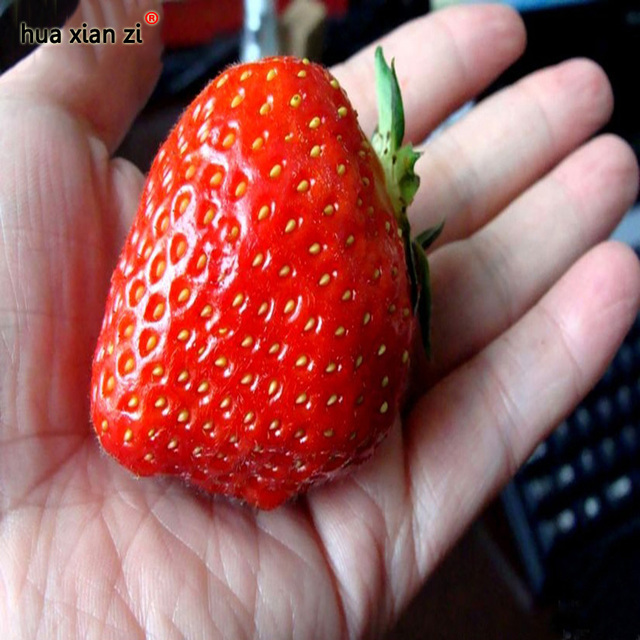 Giant Strawberry Fruit Seed Apple Sized 100% True Variety