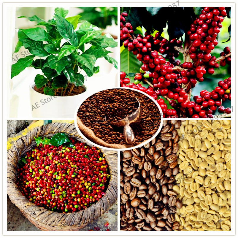 10pcs/bag Coffee Bean Seeds Balcony Bonsai Tree Plant Seed Coffee Cherry Seeds For Home And Garden