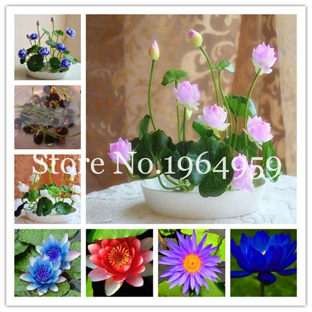 100 Original High Quality 5 Pcs Mixed Lotus Flower Aquarium Water