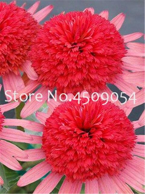 200 pz Rare Giappone Echinacea Purpurea bonsai bella margherita piante da fiore piante da giardino di casa facile da coltivare bonsai piante da fiore
