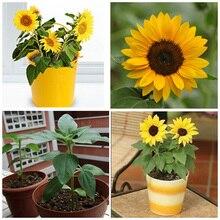 Free shipping 50pcs mini sunflower seeds Dwarf sunflower seeds sunflower series height 40cm Flower Seeds