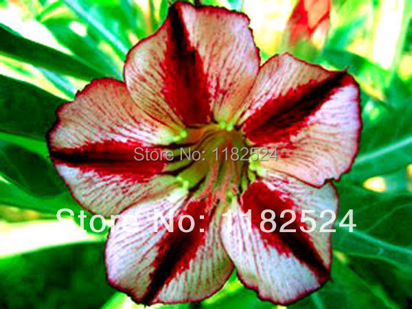 20 SEEDS Fresh Rare Bondyred Adenium Obesum Seeds Bonsai Desert Rose Flower Plant Seeds