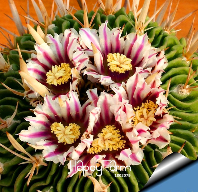 Hot Sale!100Seed/Pack Best rare Cactus Flower Seeds, giant shape ...