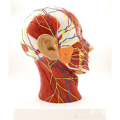 Median Section of Human Head & Neck Anatomical Model Medical Skeleton Anatomy Natural Life Size
