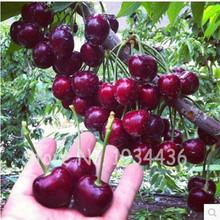 30 Pcs America Cherry Organic Fruit Plantas Bonsai Sweet Cherries Frutas Tree Grove Mini Garden Decoration Plantas Tropicales